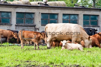 calf and cows on dairy farm