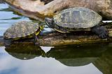 Red Eared Sliders in a water