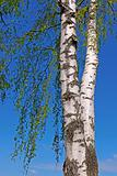 Trunk of a birch tree with green leaves