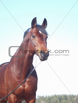 portrait of beautiful bay horse  at blue sky