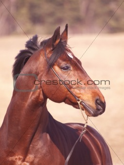 portrait of beautiful bay horse  in spring field
