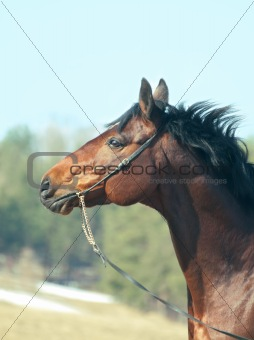 portrait of beautiful bay horse  in spring field