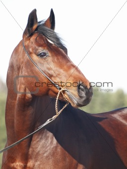 portrait of beautiful bay horse