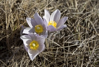 Spring Time Crocus Flower