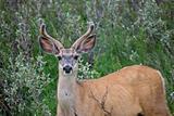 Mule Deer Buck velvet Antlers