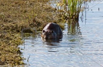 Canadian Beaver near shore on river