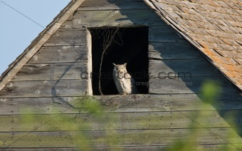 Great Horned Owl in Old Barn