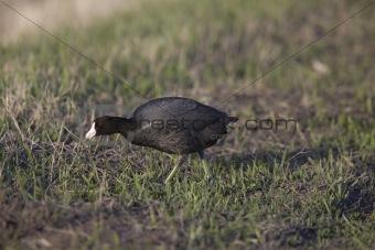 Waterhen coot in Canada