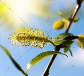 Blooming willow tree.
