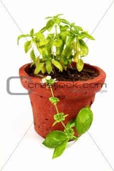 Fresh basil in pot