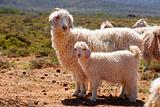 Angora goats