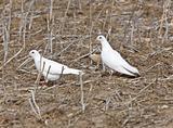 White Pigeon Dove