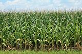 Corn Crop