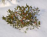 Branch of a mistletoe with berries on snow