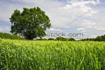 Beautiful Spring Summer image of windy corn field with vibrant
