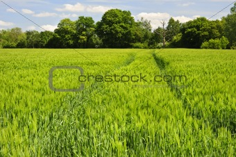 Beautiful Spring Summer image of windy corn field