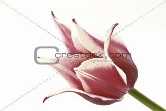 bicolor tulips