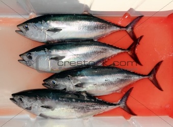 bloody bluefin four tuna fish Thunnus thynnus catch