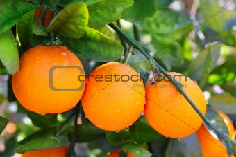 branch orange tree fruits green leaves in Spain