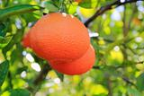 orange tangerine tree fruits green leaves