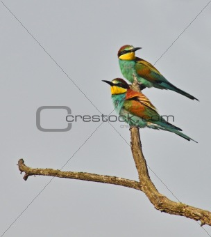 bee eaters couple