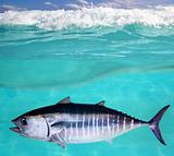 Bluefin tuna fish Thunnus thynnus underwater swimming