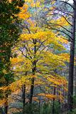 autumn fall colorful golden yellow leaves beech forest