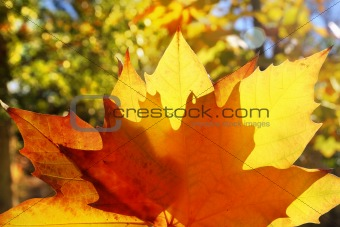 autumn yellow golden leaf macro closeup outdoor forest