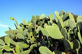 chumbera nopal cactus plant blue sky