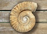 fossil spiral snail stone real ancient petrified shell