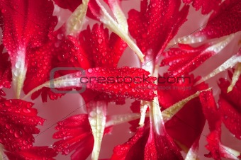 carnation petals on water