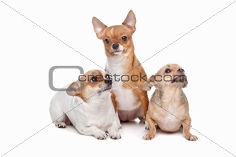 three chihuahua dogs