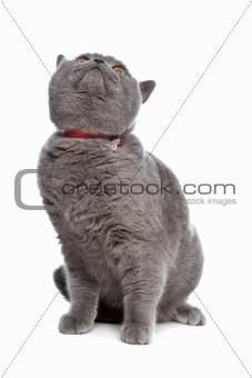 blue British Shorthair cat