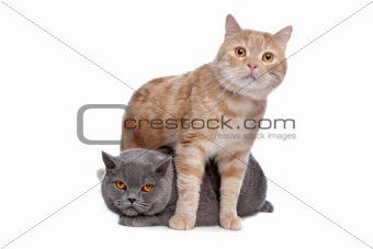 blue British Shorthair and a red maine coon cat