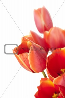 Fresh Beautiful Tulips / isolated on white / vertical with copy