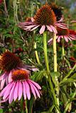Echinacea purpurea