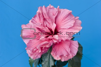 A Pink Room Rose