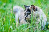 persian cat on grass