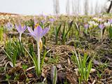 crocus, spring scene