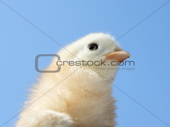 Small light yellow chicken