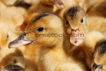 Portrait of small domestic duckling