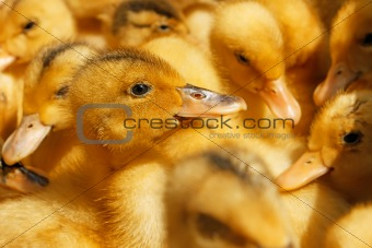 Small domestic duckling
