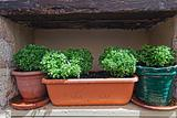 Basil in terracotta pots