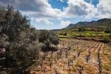 Field of olive trees and wine