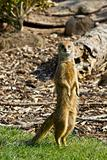 Mongoose Doing A Meerkat Impersonation
