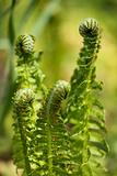 spiral of young fern in spring
