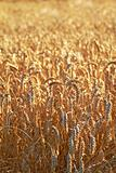 Wheat and harvest background
