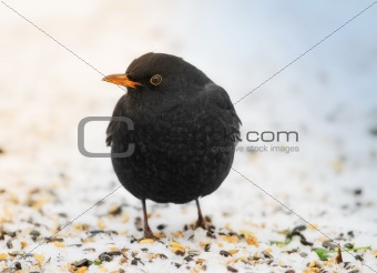 Blackbird in winter