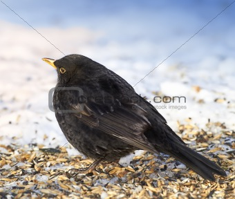 Blackbird in winter