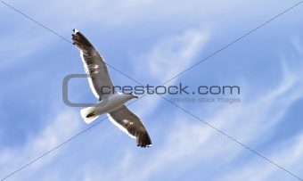 Seagull - flying in the air